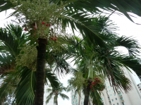 32_palms-redfrut.png